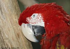 Funny Acting Scarlet Macaw (wesjr50) Tags: captivewildlife captivemacaw parrot canon 5ds canonef500mmf40isusm staugustinealligatorfarm staugustineflorida naturewildlife flash better beamer avian dxo optics pro photoshop topaz denoise