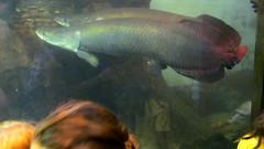 Arapaimas (edenpictures) Tags: fish sheddaquarium chicago illinois water amazonian amazonriver
