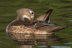 High park - Female Wood Duck Preening (digithief) Tags: femalewoodduck birds d750 nikon grenadierpond highpark ontario toronto
