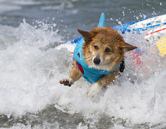 Shark Attack (San Diego Shooter) Tags: dog dogs portrait sandiego imperialbeach surfer surfing dogsurfing