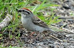 DSC04915 Chipping Sparrow (Spizella passerina) (vlupadya) Tags: greatnature aves fauna chipping sparrow baskingridge spizella