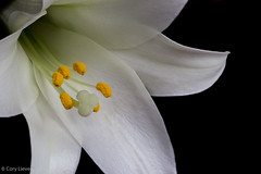 """Easter Lily • <a style=""""font-size:0.8em;"""" href=""""http://www.flickr.com/photos/92159645@N05/15614769033/"""" target=""""_blank"""">View on Flickr</a>"""
