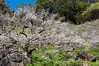 Plum Blossoms (ToddinNantou) Tags: flowers taiwan 南投 台灣 plumblossoms 梅花 nantou 南投縣 d90 信義鄉 sigma28mmf18 xinyitownship