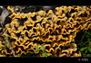 (PCB75) Tags: mushroom mira foret arbre seta fusta soca champignon groc pilz tronc setas fong bosc magia гриб bolets bolet schwammerl 蘑菇 onddo màgic μανιτάρι goita