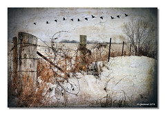 Farmland Fence_Winter (rjmonner) Tags: wood snow art texture field grass corner fence geese wire vines midwest gate post farm steel farming knot iowa artsy friday barbed tangled cornbelt jacksonco fencefriday