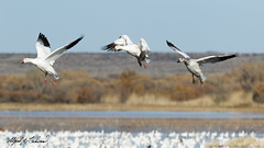 Snow Geese Landing (Alfred J. Lockwood Photography) Tags: newmexico geese afternoon flight landing bosque snowgeese alfredjlockwood