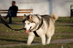 Haski (Husky)