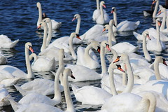 Swans (scrappy nw) Tags: white bird water swan swans southport merseyside