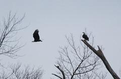 IMG_3239-1 Bald Eagle Pair (John Pohl2011) Tags: bird canon john hawk raptor 100400mm birdofprey pohl perching t4i 100400mmlens canont4i