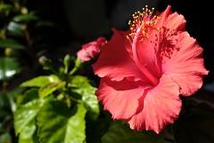 Potted hibiscus began to bloom in my livingroom (photoholic image) Tags: plant flower bokeh petal livingroom hibiscus carlzeiss pottedhibiscus touit1832 carlzeisstouit1832 fujifilmxt1