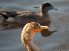 Double crested Cormorant_juvenile_03_05_15_Buena Vista Pond and open Space_Vista CA 182-1 (Ryan Rubino) Tags: ca pond open space double vista cormorant crested buena phalacrocorax auritus