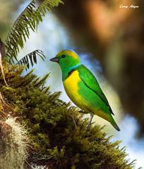 Golden-browed-chlorophonia (Corey Hayes) Tags: wild colour bird art nature birds costarica wildlife ngc birding jungle centralamerica wildlifephotography 500mmf4is coreyhayes 1dmkiv
