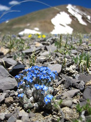 Forget-me-nots on Weston Pass