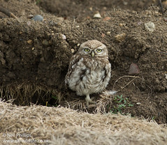 Little owl-2 (Neil Phillips) Tags: white bird eye yellow grey small aves owl strigiformes littleowl athenenoctua