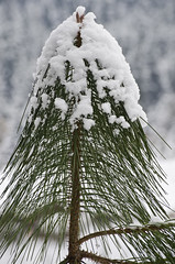 topping pine needles (SusanCK) Tags: snow landscape leavenworth susancksphoto