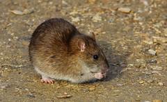 Roland the Rat - Radipole RSPB Dorset 010215 (4) (ailognom2005) Tags: rat wildlife dorset brownrat rattusnorvegicus wildlifereserves radipolelakerspbreserve