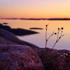 """Between The Cracks"" (maya the viking_girl) Tags: pink sunset sea sky plant flower beach nature water norway rock landscape rocks pastel peach tjme bekkevika"