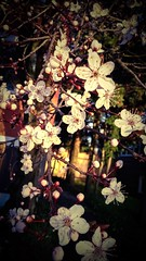 Spring Time! (The Donotron) Tags: flowers spring blossoms plum smell plumblossoms