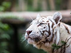 White tiger (John van Beers) Tags: france zoo tiger tijger lorraine whitetiger dierentuin bengaltiger amnéville wittetijger pantheratigristigris bengaalsetijger hagondange zoodeamnéville