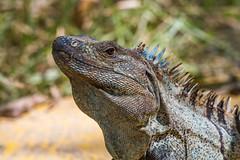 Spinytail Iguana (Eduardo Mena U.) Tags: iguana animales reptil garrobo ctenosaurasimilis spinytailiguana familiaiguanidae reservacur garrobocomn