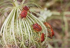 Shieldbug (Graphosoma semipunctatum) (M.D.Parr) Tags: red black nature insect stripes ngc insects greece dots stinkbug shieldbug shieldbugs halkidiki martinparr hemiptera graphosomasemipunctatum martindparr mdparr