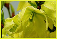 Yellow Flower (Karabelso) Tags: flower macro water yellow garden petals sony gelb blume makro blüte garten wassertropfen blütenblatt bossom