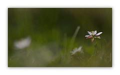 Happiness is coming... (Orpinbleu) Tags: morning white flower macro nature grass garden daylight flora flickr lumire jardin dew herbe flore matin fvrier lumirenaturelle fleurblanche petitefleur vgtal canoneos5od emilienneparrotbousquet happinessiscomingbyorpinbleu