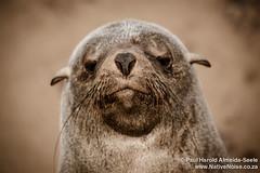 Seal Colony At Cape Cross, Namibia (NativePaul) Tags: ocean africa travel sea vacation holiday beach sand honeymoon may roadtrip seal namibia southernafrica 2014 capecross sadc erongo may2014