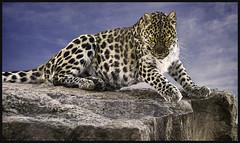 Leopard (JimBoots) Tags: specanimal