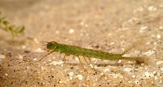 20140215-PICT0053 klein2.jpg (henk.wallays) Tags: aaaa arthropoda henkwallays insect odonata odonataspecies stages closeup insecta insecte insekt larvae macro nature natuur wildlife 1999 date