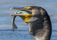 Double-crested Cormorant big gulp (JME_Photos) Tags: