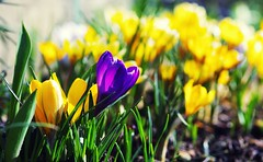 Spring has finally arrived  [Explored Mar 1, 2015] (G_E_R_D) Tags: spring crocus krokus frhling hibernation winterschlaf
