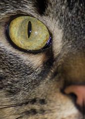Eye of Archimedes (Blaine Linton) Tags: pet cats pets green eye animal animals cat eyes feline felines