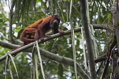 Howler monkey (ggallice) Tags: howlermonkey atelidae alouattasara monoaullador coto cotomono manunationalpark peru amazon rainforest jungle selva southamerica