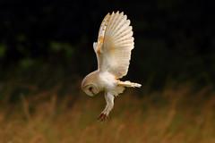 And Stretch... (jammo s) Tags: summer bird nature wildlife diving owl barnowl birdofprey bif tytoalba birdinflight canonef400mmf56lusm canoneos80d wildowl wildbarnowl