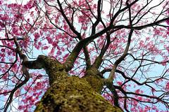 Detalhes do dia a dia. (derciofernando) Tags: pink flowers winter brazil flower tree nature brasil canon natureza rosa ip inverno florido iprosa florada flowersinthecity ipflorido brasilemimagens