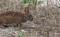 Rabbits @ Robinson - HWW (11Jewels) Tags: canon 70300 rabbits robinsonpreserve florida bradentonfl manateecounty wildlifewednesday