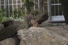Suricato (querin.rene) Tags: renéquerin qdesign parcolecornelle parcofaunistico lecornelle animali animals suricato