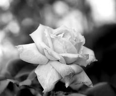 tristesse (Fay2603) Tags: monochrome blackwhite schwarzweis schwarz weis schatten shadow light licht hell einfarbig schrfentiefe blume flower blossom blte rose bltenbltter traurig trauer sadness pflanze plant fuji xt1 delicate zart fein sanft pastell outdoor tristesse tristezza