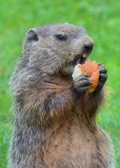 2016-07-26 (3)-1 groundhog in back yard - yp (JLeeFleenor) Tags: photos photography md maryland bowie bowiemd animals animal woodchuck gooundhog rodent outside outdoors nature burrower