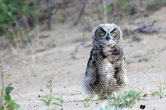 Juvenile Great Horned Owl (Beard&Glasses) Tags: canada bird birds canon rebel wildlife north yukon raptor owl greathornedowl carcross yt greathorned bubovirginianus northof60 t6s