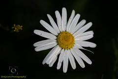Wild Daisy.jpg (Draycott Photography) Tags: 70d staffordshire color macrolens gardenflowers nature draycott canon colour garden macro naturebest draycottintheclay canon70d flower macrophotography flowers colourful draycottphotography
