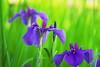 Iris sibirica あやめ(ayame) (Kenih8) Tags: iris あやめ 文目 ps180 dc finepix s5pro jp 日本 fujifilm