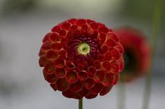 Dahlie (milance1965) Tags: rot sony dahlie sonya55