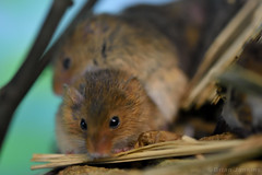 Harvest Mice (Bri_J) Tags: tropicalbutterflyhouse northanston sheffield southyorkshire uk yorkshire nikon d7200 harvestmouse mouse rodent micromysminutus