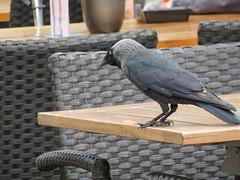 ckuchem-0489 (christine_kuchem) Tags: stadt markt tisch marktplatz vogel dohle