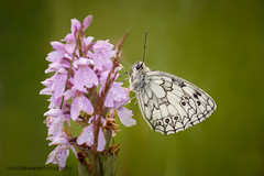 Marbled White on Heath Spotted Orchid (ABPhotosUK) Tags: animals butterflies canon dactylorhizamaculata dartmoor devon ef100400mmisii ef25mmextensiontube eos7dmarkii flowers heathspottedorchid invertebrates lepidoptera macro marbledwhite melanargiagalathea nocrop nymphalidae orchids plantsandfungi rivertavy wildlife bigbutterflycount