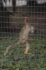 Saimiri (querin.rene) Tags: renquerin qdesign parcolecornelle parcofaunistico lecornelle animali animals saimiri sudamerica scimmia
