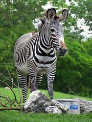 Zebra (meeko_) Tags: africa animals gardens tampa florida edge zebra themepark buschgardens attraction busch buschgardenstampa buschgardensafrica buschgardenstampabay edgeofafrica