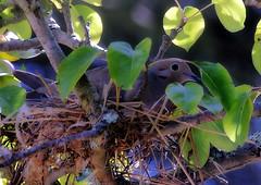 Nesting dove (TJ Gehling) Tags: bird dove columbidae mourningdove zenaida zenaidamacroura nest dorothyrosenbergmemorialpark elcerrito